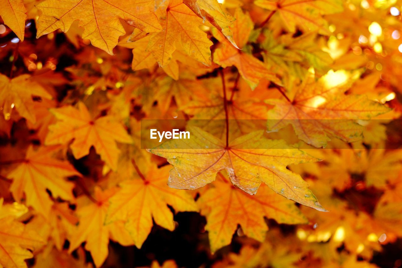 autumn, change, plant part, leaf, maple leaf, orange color, leaves, close-up, nature, plant, beauty in nature, no people, maple tree, tree, day, growth, outdoors, yellow, selective focus, branch, natural condition, autumn collection, fall