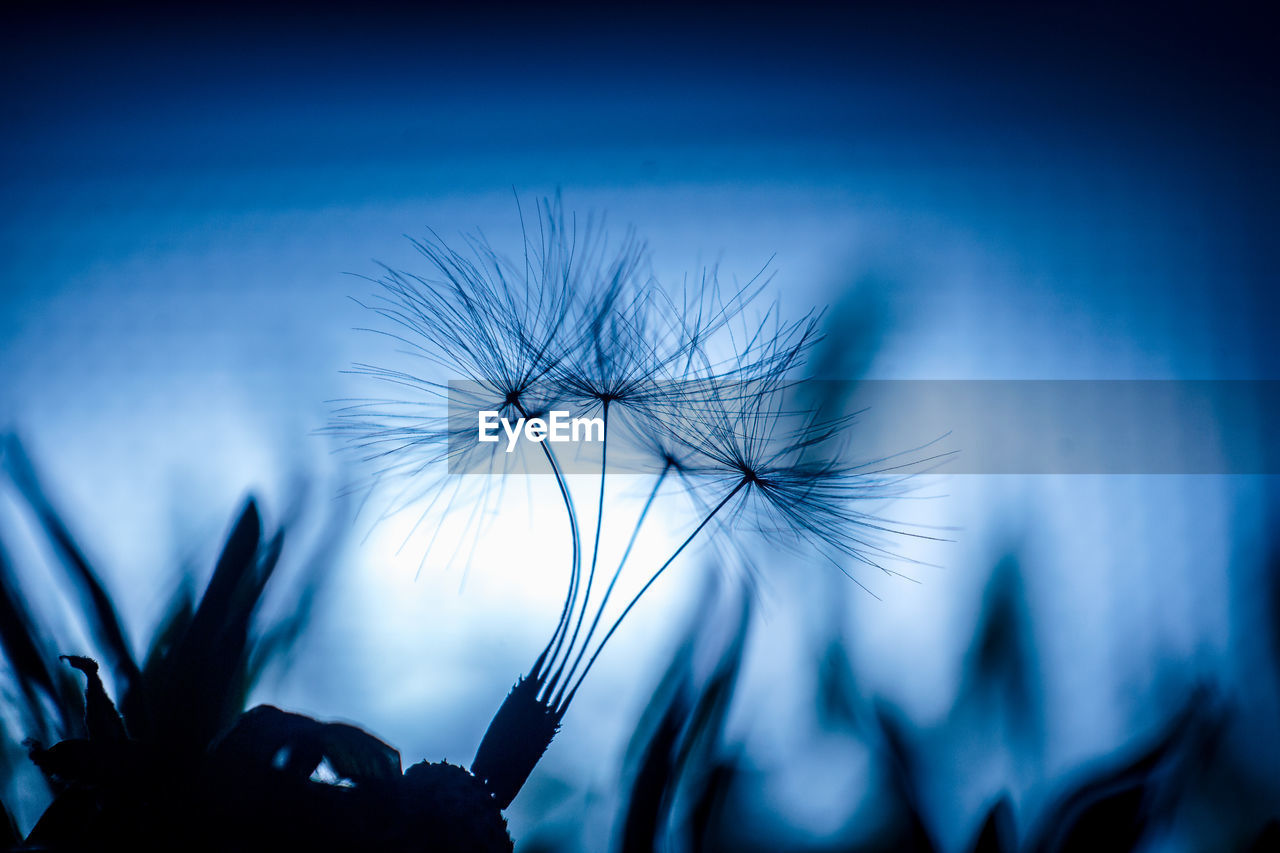 flower, flowering plant, plant, dandelion, fragility, close-up, vulnerability, beauty in nature, freshness, selective focus, growth, inflorescence, flower head, nature, silhouette, sky, blue, no people, plant stem, dandelion seed, softness, outdoors, nightlife