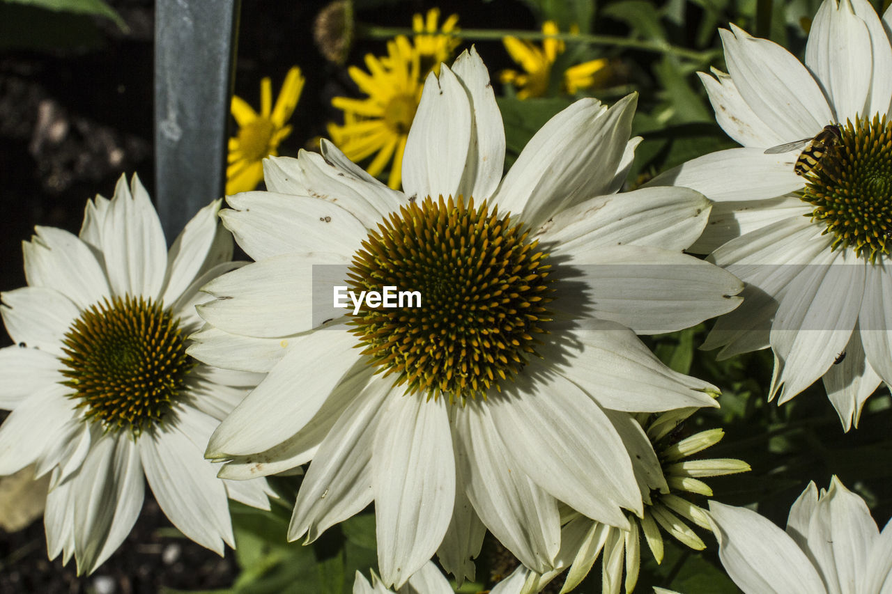 flower, petal, fragility, flower head, growth, white color, freshness, nature, pollen, beauty in nature, blooming, day, no people, outdoors, plant, close-up, focus on foreground