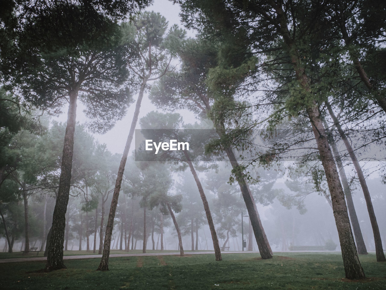 Trees in forest in a foggy morning