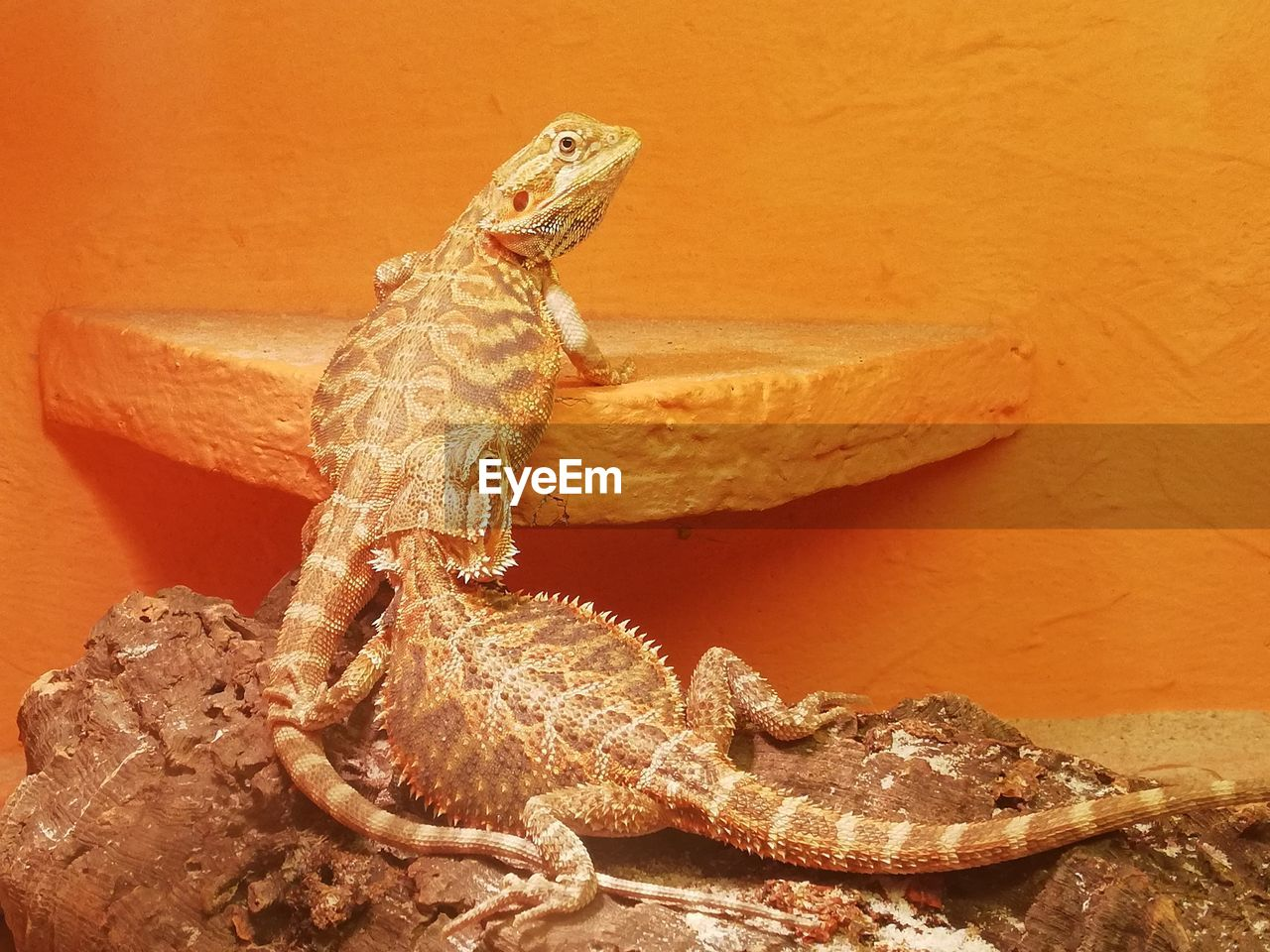 animal themes, animal, animals in the wild, reptile, one animal, animal wildlife, lizard, vertebrate, bearded dragon, no people, close-up, rock, rock - object, solid, nature, outdoors, animal body part, day, zoology, animal scale