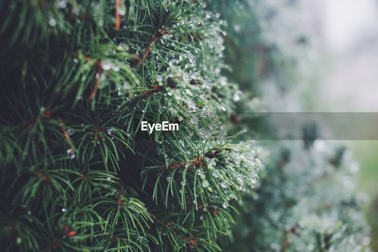 Close-Up Of Wet Pine Tree During Rainy Season