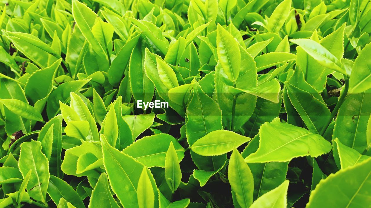 leaf, green color, growth, plant, nature, full frame, no people, day, outdoors, agriculture, freshness, beauty in nature, close-up, tea crop