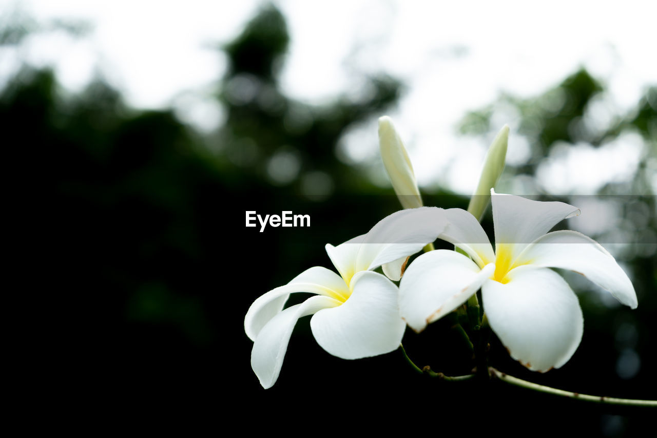 flower, plant, flowering plant, beauty in nature, vulnerability, fragility, freshness, petal, growth, close-up, focus on foreground, flower head, white color, inflorescence, no people, nature, frangipani, day, outdoors, botany