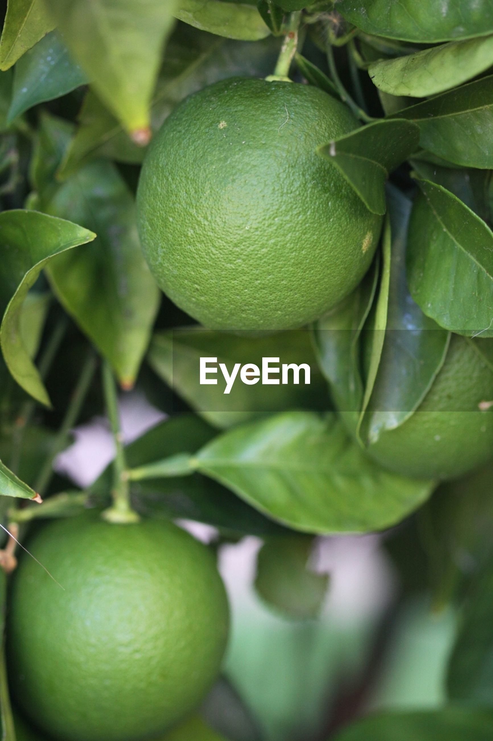 fruit, food and drink, green color, leaf, freshness, healthy eating, growth, food, close-up, tree, focus on foreground, branch, nature, ripe, green, outdoors, growing, day, no people, lemon