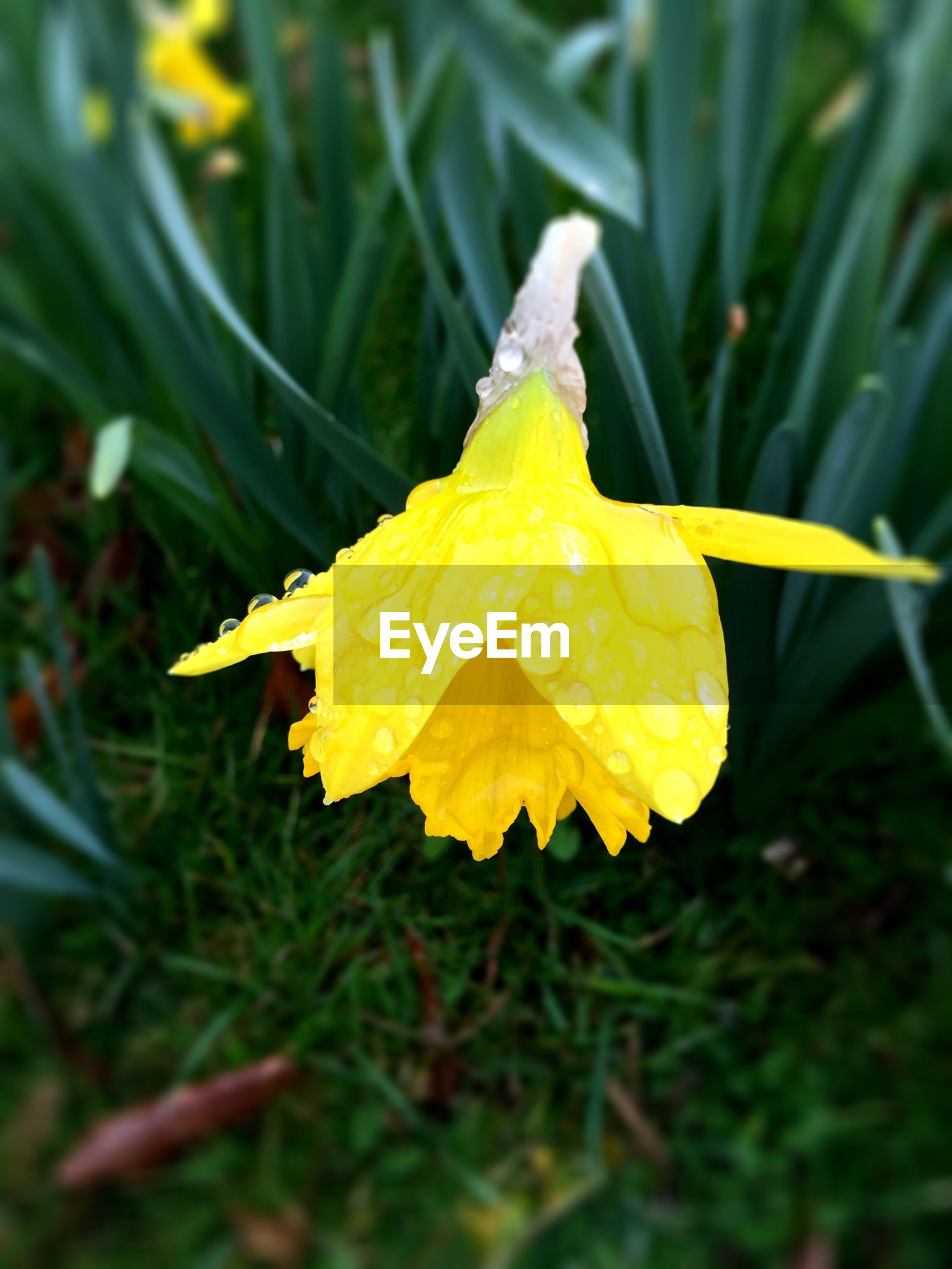Close-up of raindrops on yellow daffodil flower
