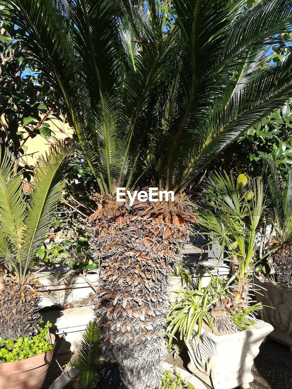 plant, growth, tropical climate, tree, palm tree, nature, day, green color, no people, outdoors, beauty in nature, tree trunk, trunk, date palm tree, potted plant, sunlight, front or back yard, leaf, tropical tree, tranquility, palm leaf
