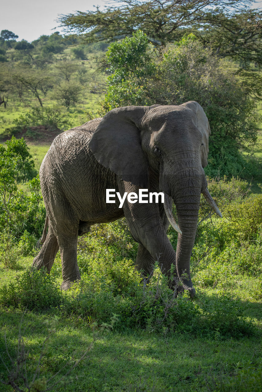 animal themes, animal, mammal, elephant, plant, animal wildlife, one animal, vertebrate, land, animals in the wild, field, grass, tree, day, nature, no people, animal body part, domestic animals, forest, herbivorous, outdoors, animal trunk, african elephant, animal family