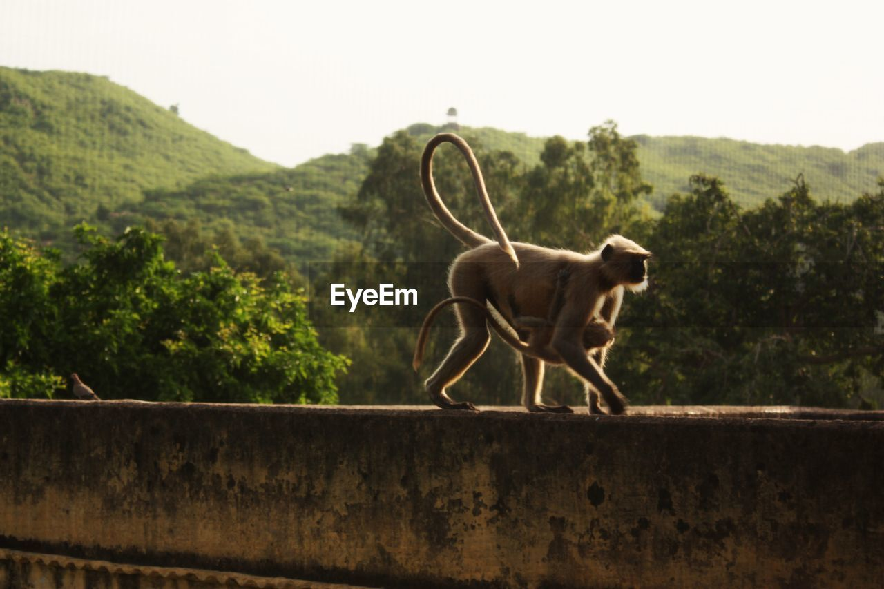 Monkey With Infant On Retaining Wall Against Trees
