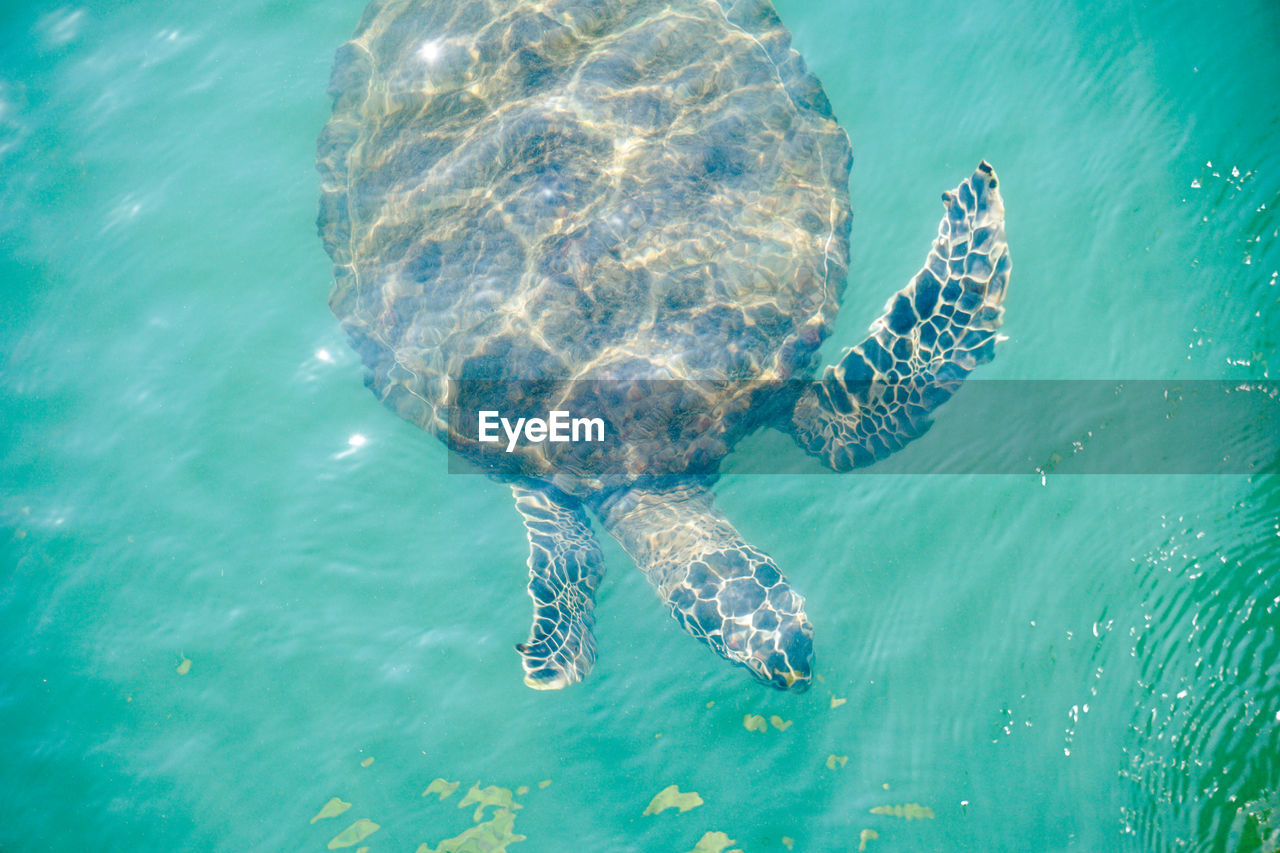 View of sea turtle swimming in turquoise water