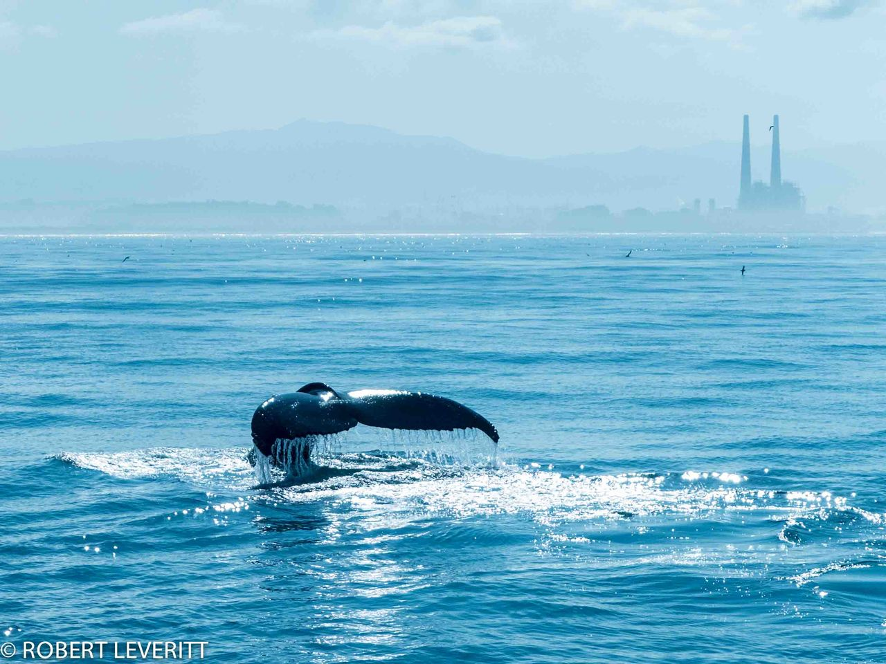 sea, water, one animal, animal themes, no people, nature, outdoors, animals in the wild, day, whale, sky, beauty in nature, mammal, aquatic mammal, swimming, sea life, humpback whale