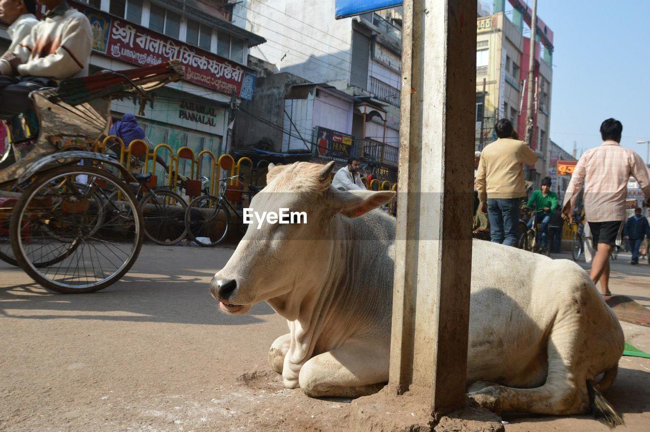 Cow resting on street against buildings