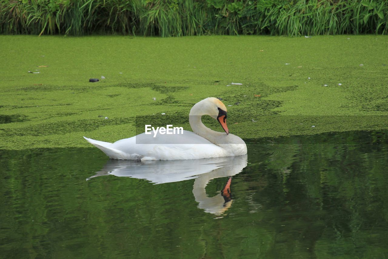 water, bird, lake, animals in the wild, vertebrate, animal themes, animal, animal wildlife, swan, reflection, swimming, one animal, water bird, white color, day, nature, waterfront, beauty in nature, no people, floating on water, animal neck, cygnet