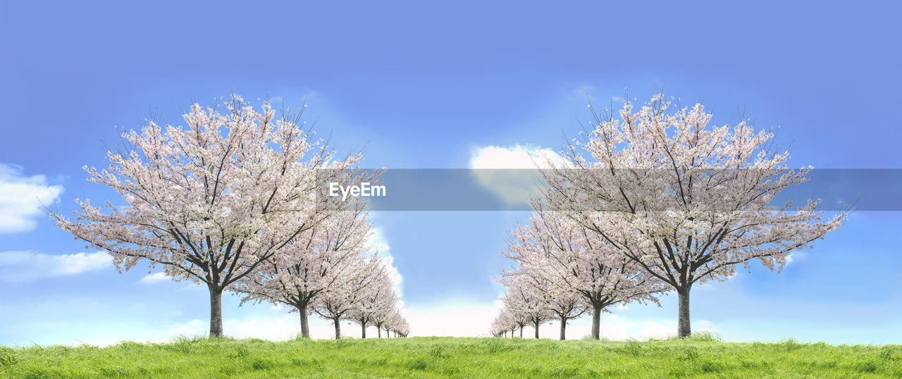 plant, sky, tree, beauty in nature, field, nature, growth, day, flower, blue, tranquility, scenics - nature, land, blossom, no people, tranquil scene, springtime, flowering plant, landscape, freshness, outdoors, cherry blossom