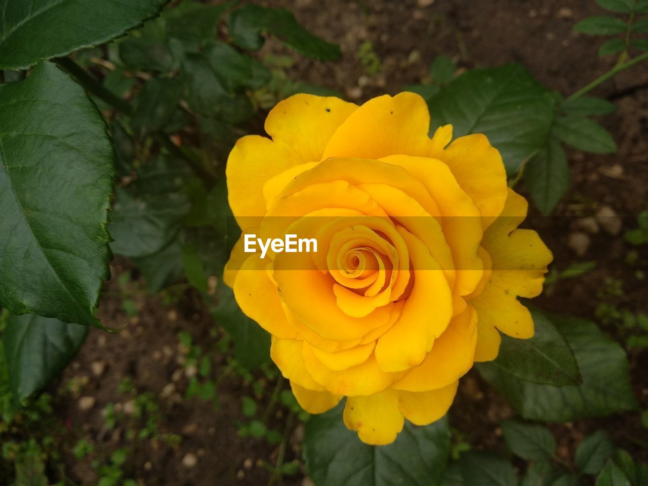flower, flowering plant, plant, beauty in nature, vulnerability, fragility, flower head, inflorescence, petal, freshness, close-up, growth, yellow, rose, nature, plant part, leaf, rose - flower, day, high angle view, no people, outdoors
