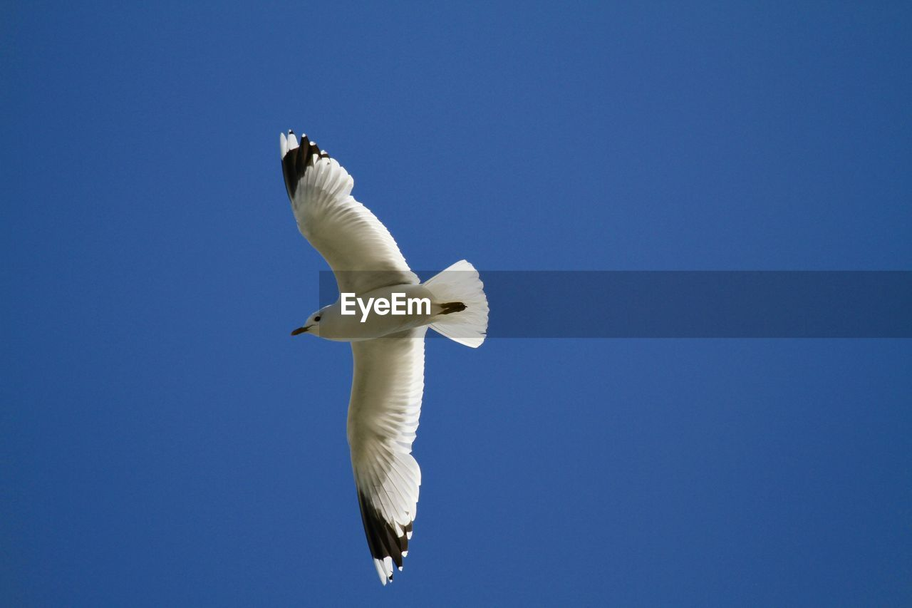 bird, animal themes, sky, animal, flying, vertebrate, low angle view, animals in the wild, spread wings, one animal, animal wildlife, blue, clear sky, no people, white color, copy space, mid-air, nature, day, seagull