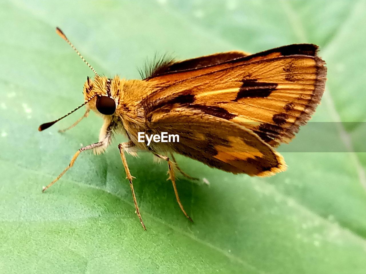 insect, invertebrate, one animal, animal wildlife, animals in the wild, animal themes, animal, animal wing, plant part, leaf, close-up, green color, focus on foreground, no people, butterfly - insect, nature, day, beauty in nature, plant, animal body part, outdoors, moth, butterfly
