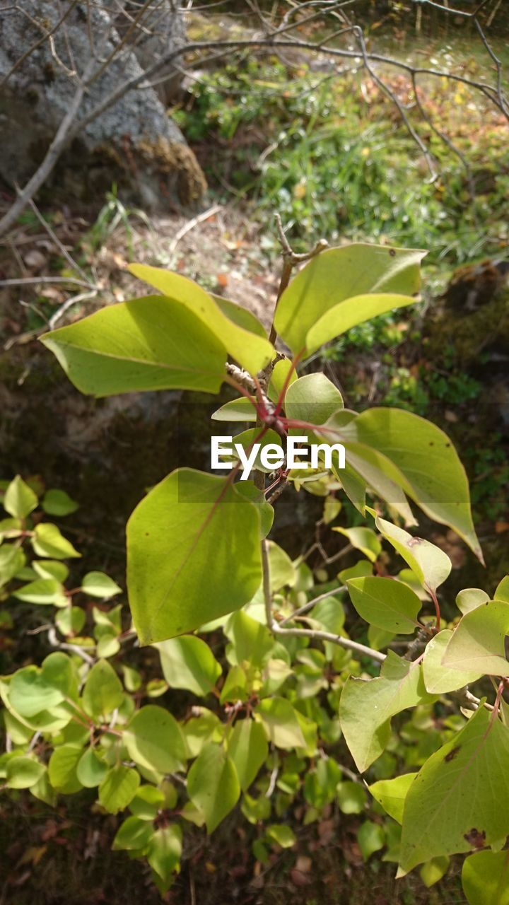 plant part, leaf, plant, growth, green color, nature, close-up, beauty in nature, day, no people, outdoors, focus on foreground, tree, freshness, tranquility, branch, food, fragility, land, vulnerability