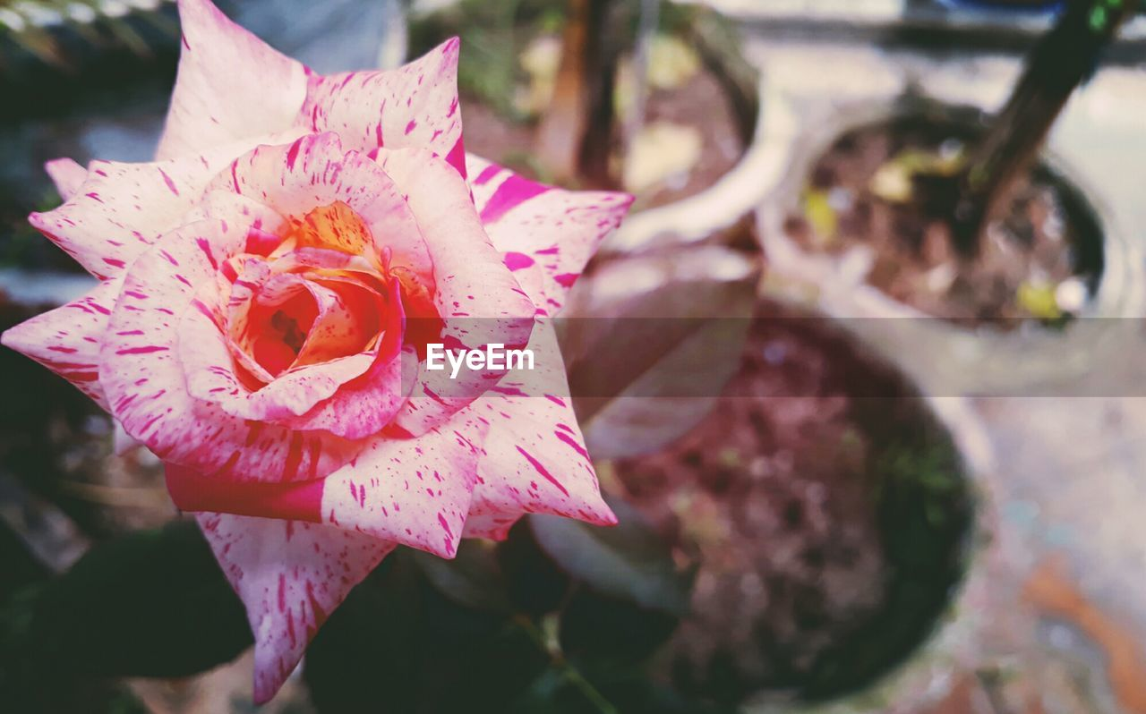 flower, petal, nature, fragility, no people, beauty in nature, close-up, pink color, growth, outdoors, flower head, day, freshness