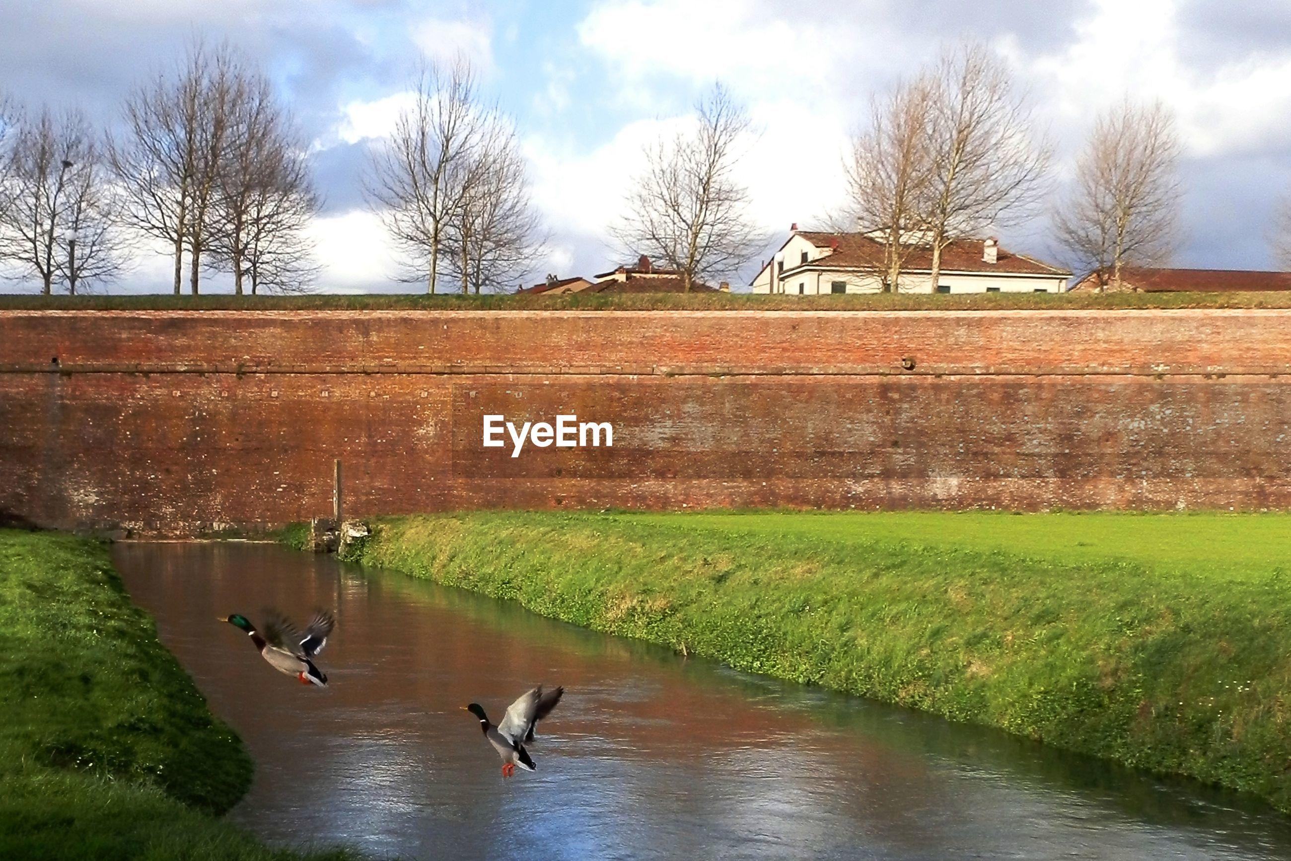 Mallard ducks flying over stream against sky