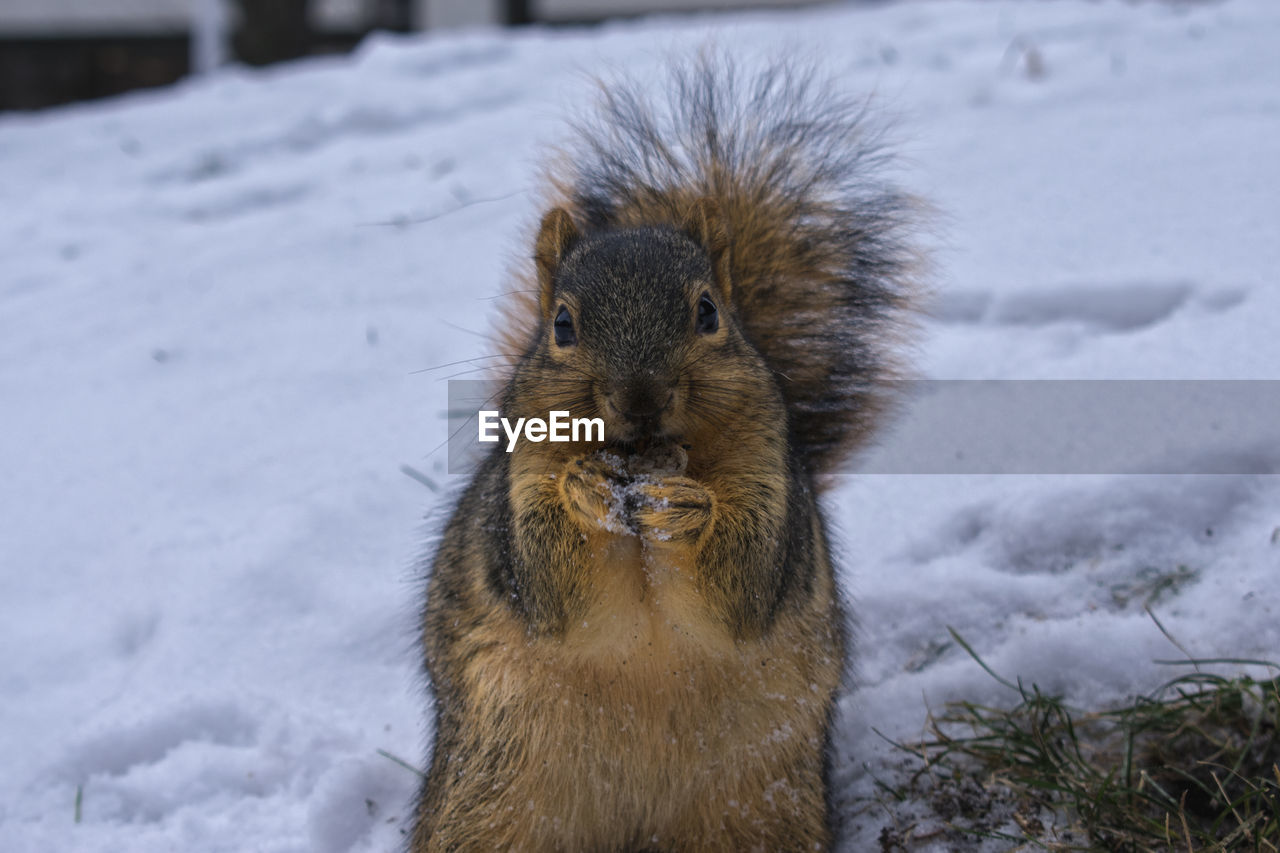 snow, winter, cold temperature, one animal, mammal, animal themes, animals in the wild, nature, weather, field, animal wildlife, outdoors, no people, day, squirrel, portrait, close-up
