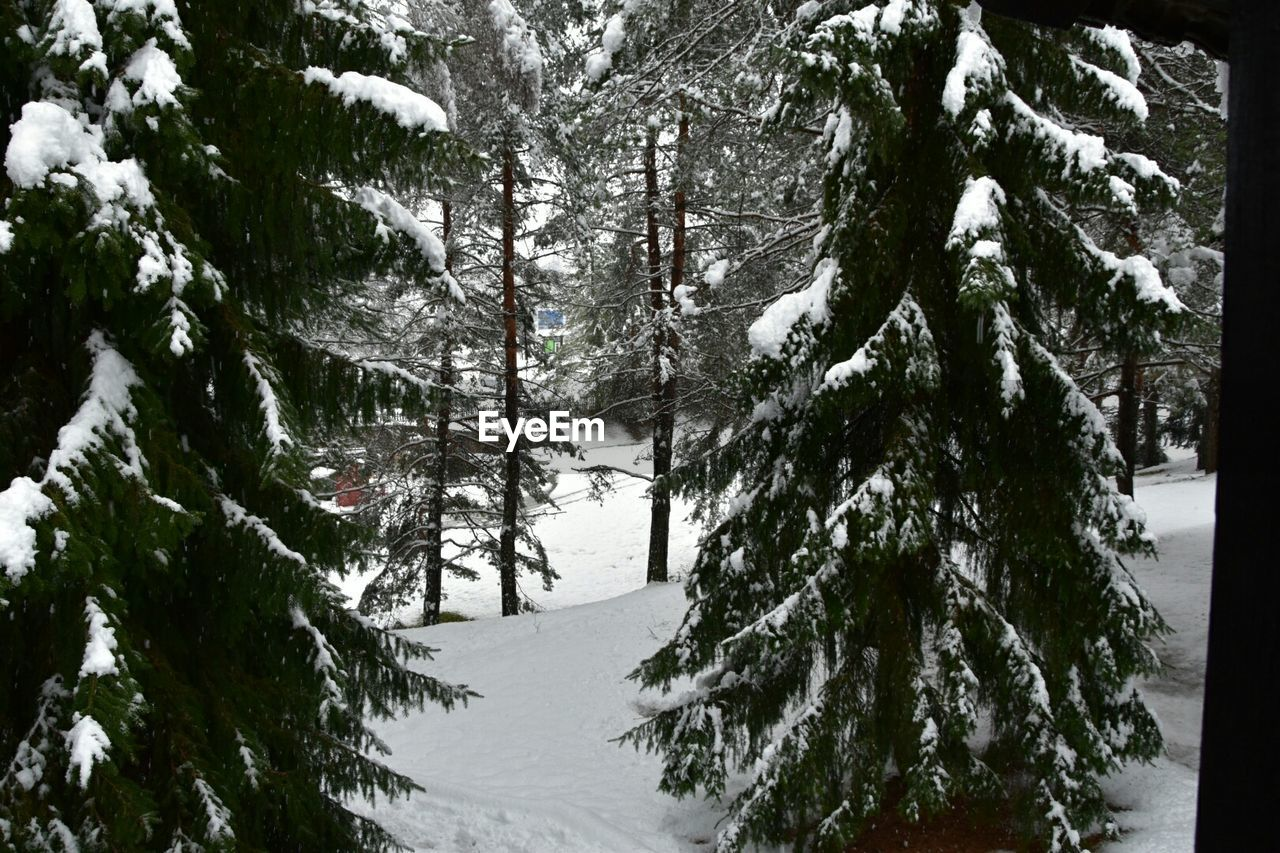 Pine trees growing on snow covered field