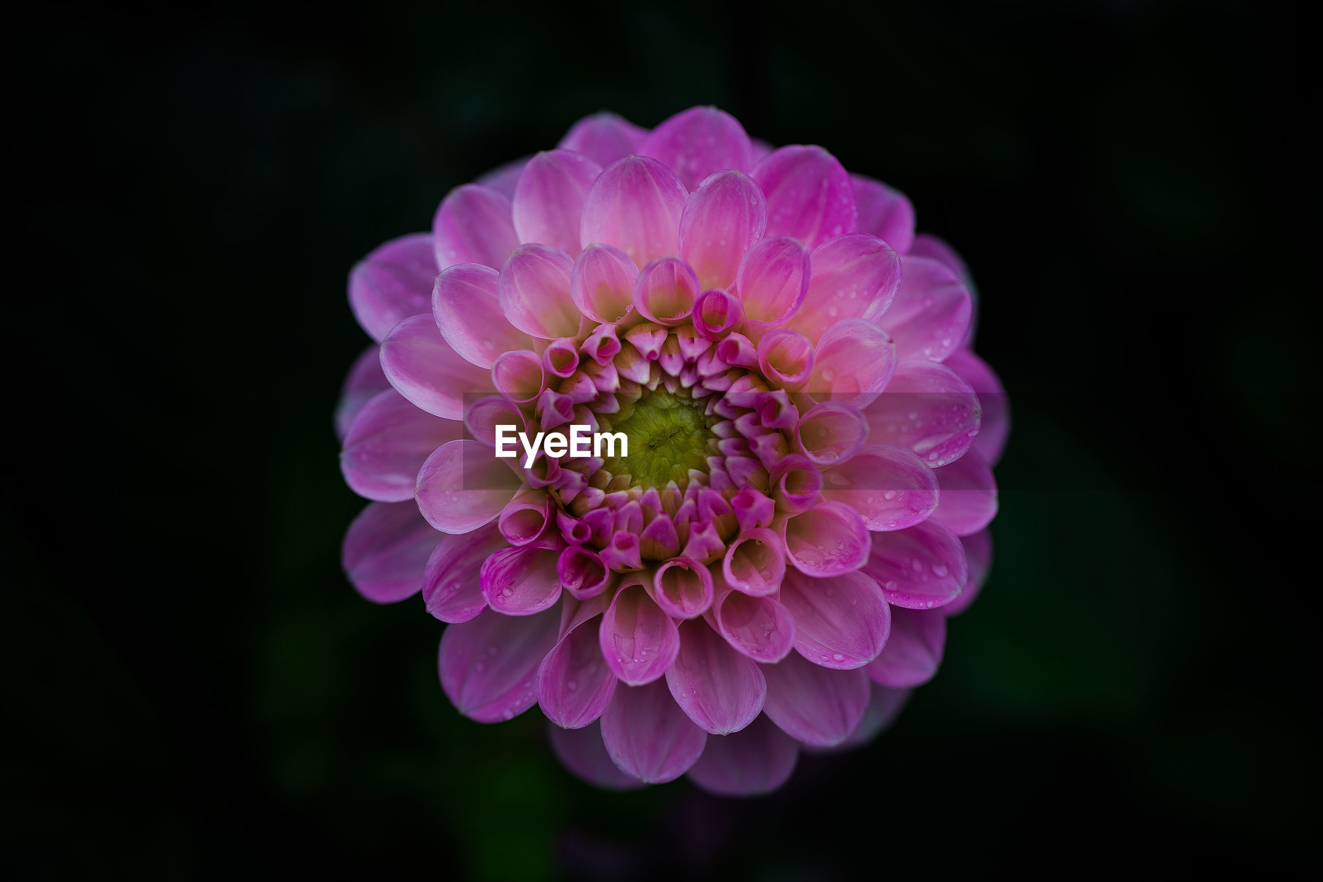 CLOSE-UP OF PINK DAHLIA