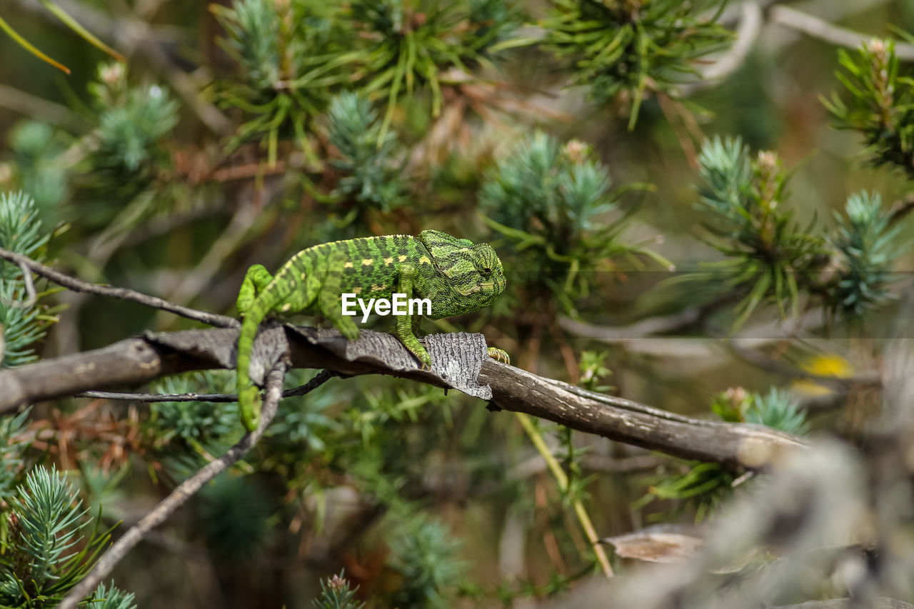 plant, green color, tree, branch, day, no people, growth, one animal, nature, close-up, selective focus, animals in the wild, animal wildlife, animal themes, focus on foreground, animal, leaf, plant part, beauty in nature, outdoors, pine tree, coniferous tree, poisonous