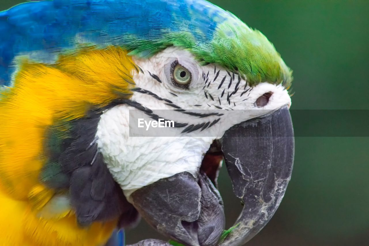 CLOSE-UP OF PARROT IN BLUE