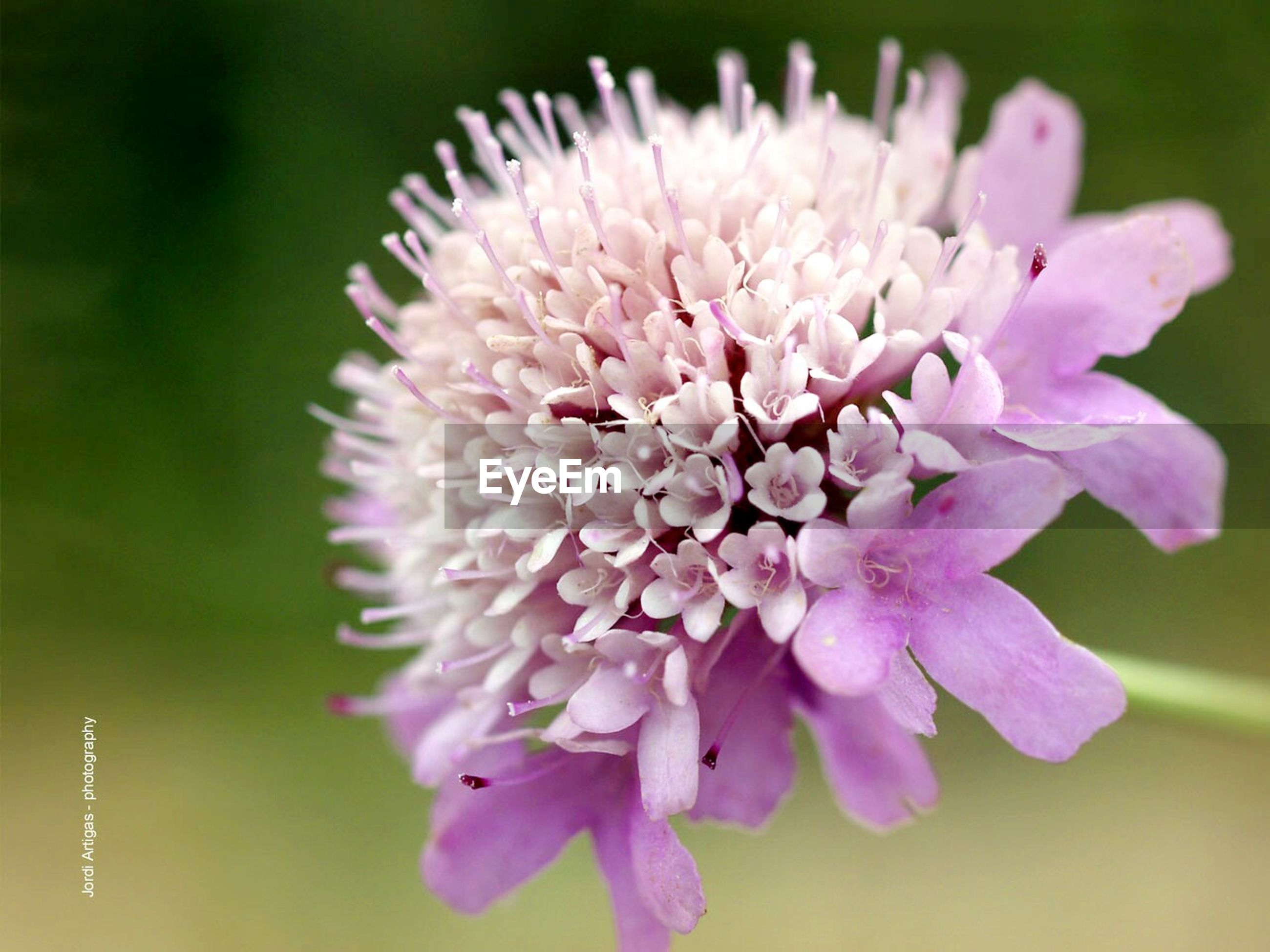 flower, freshness, petal, fragility, flower head, growth, close-up, beauty in nature, focus on foreground, nature, blooming, in bloom, plant, pollen, selective focus, blossom, single flower, stamen, springtime, pink color