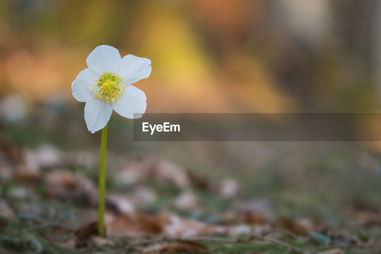 flowering plant, flower, fragility, vulnerability, plant, petal, beauty in nature, freshness, growth, white color, inflorescence, close-up, flower head, focus on foreground, nature, field, day, selective focus, land, no people, outdoors