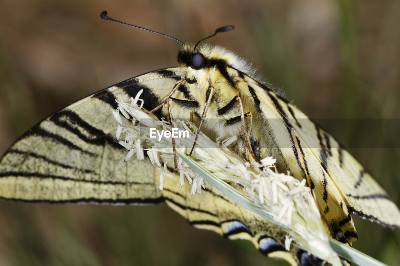 The scarce swallowtail butterfly from biokovo nature park, croatia