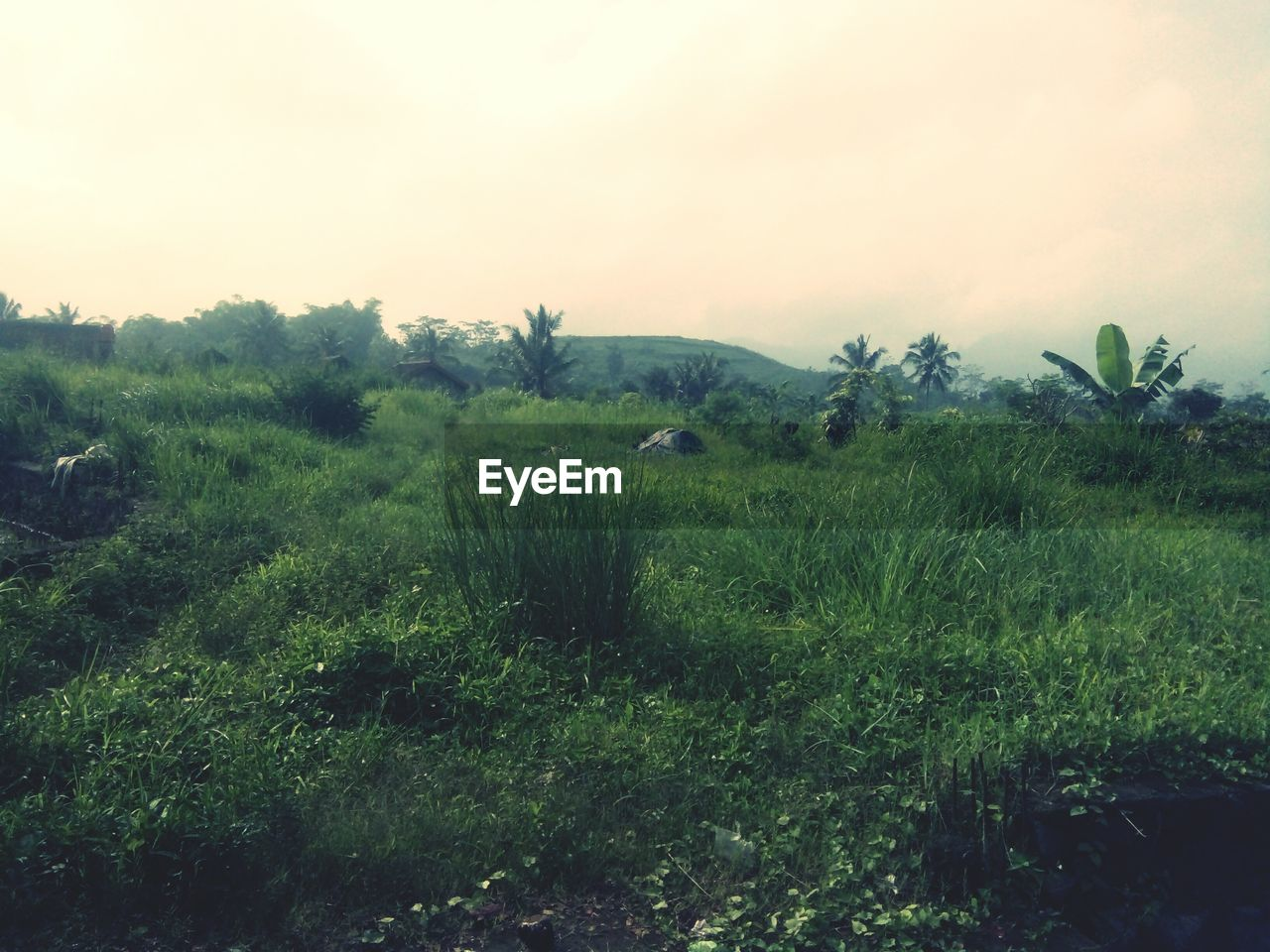 plant, land, field, sky, grass, environment, landscape, tree, nature, green color, tranquil scene, no people, tranquility, scenics - nature, beauty in nature, growth, mammal, animal, animal themes, non-urban scene