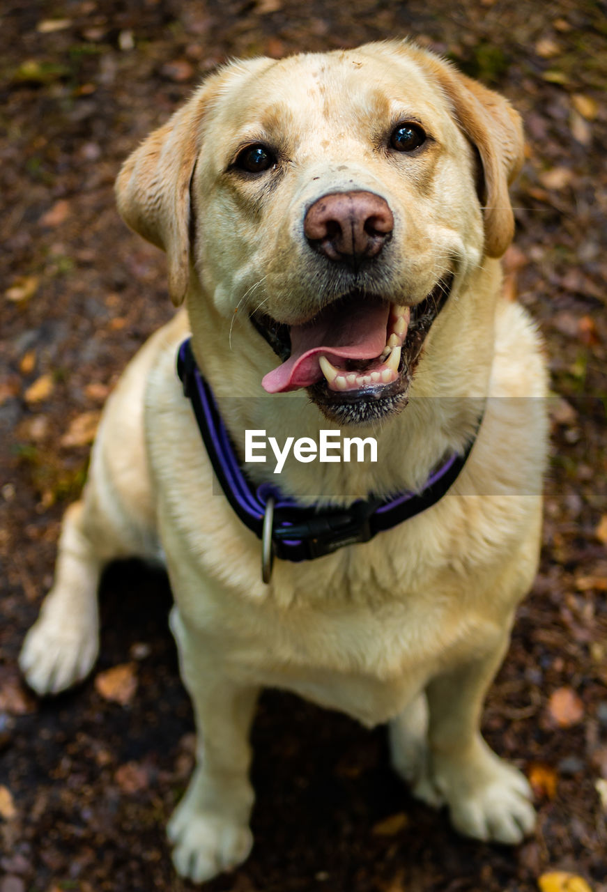 dog, canine, domestic, pets, one animal, animal themes, mammal, domestic animals, animal, portrait, looking at camera, vertebrate, no people, day, collar, close-up, pet collar, focus on foreground, sitting, retriever