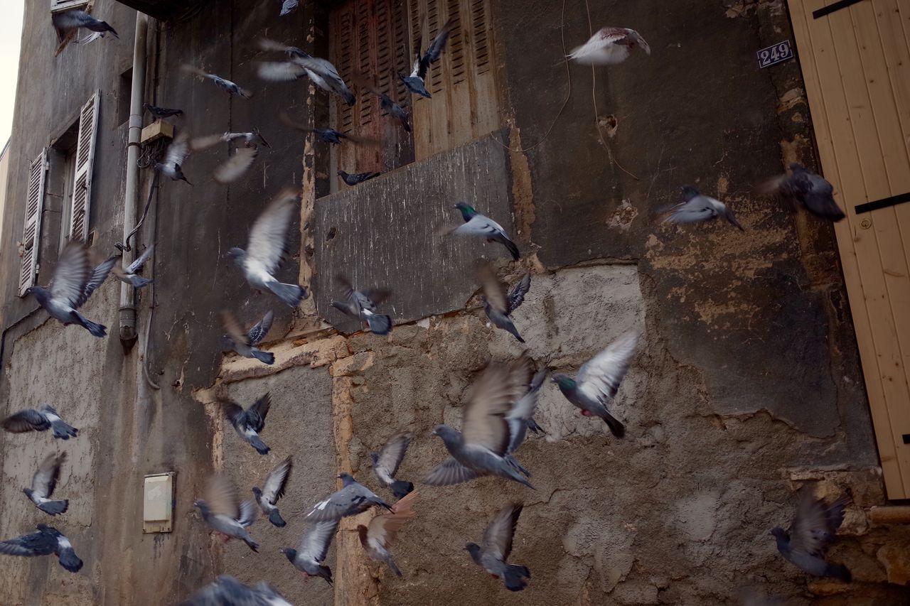 Flock of pigeons against building
