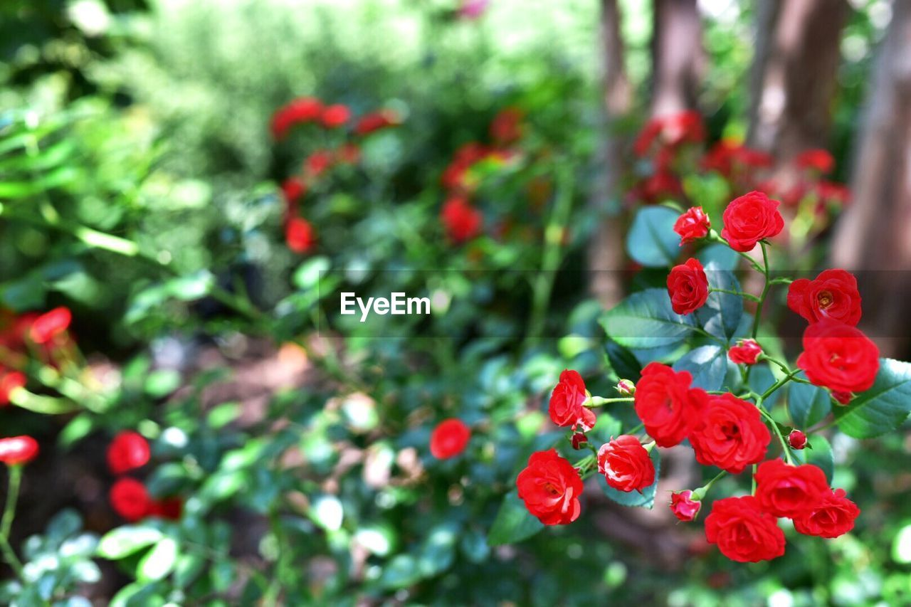 red, nature, growth, flower, outdoors, beauty in nature, focus on foreground, plant, no people, freshness, day, tree, close-up, fragility
