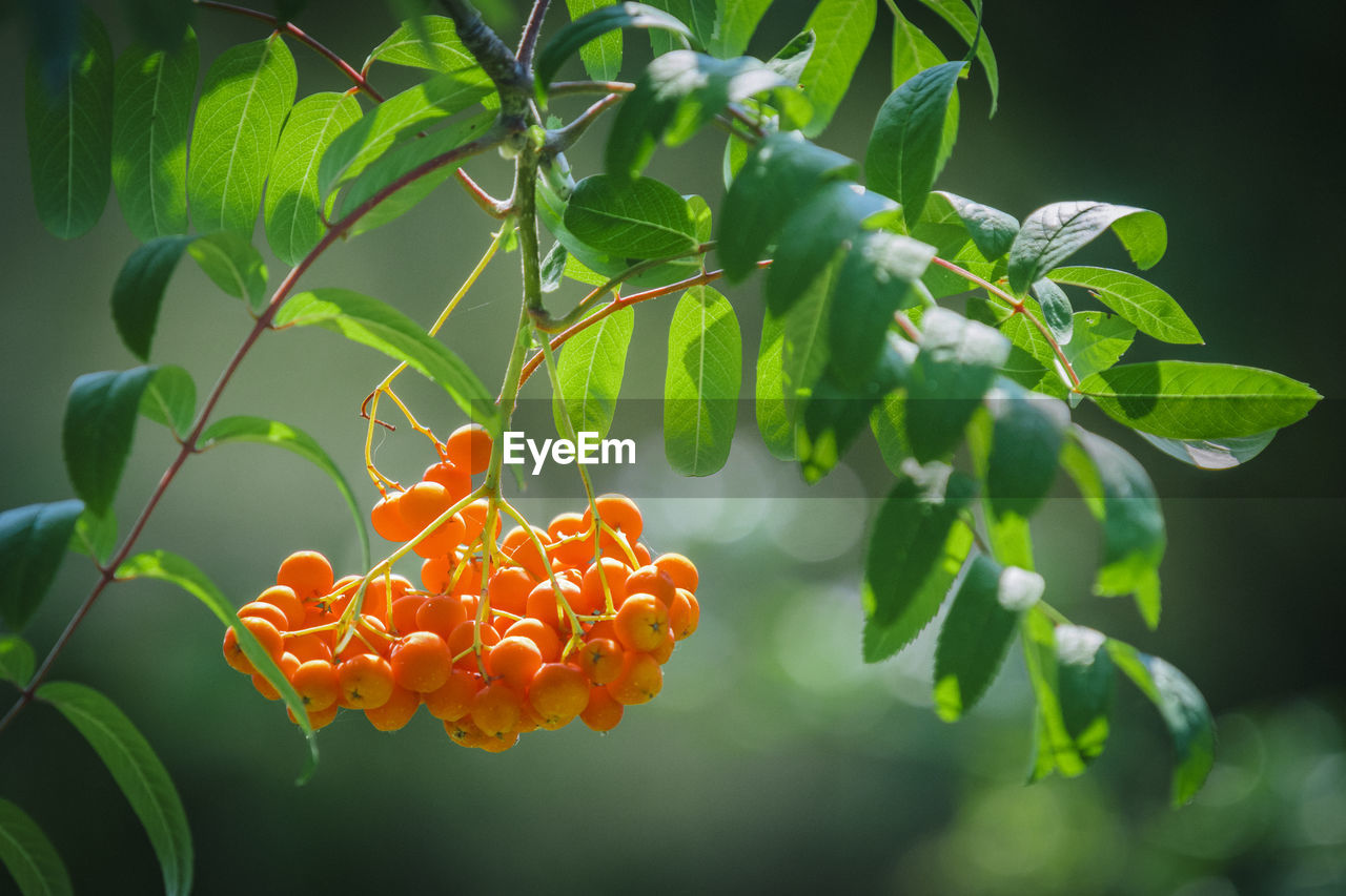 leaf, growth, orange color, freshness, beauty in nature, green color, no people, plant, focus on foreground, food and drink, day, nature, outdoors, fruit, food, tree, close-up