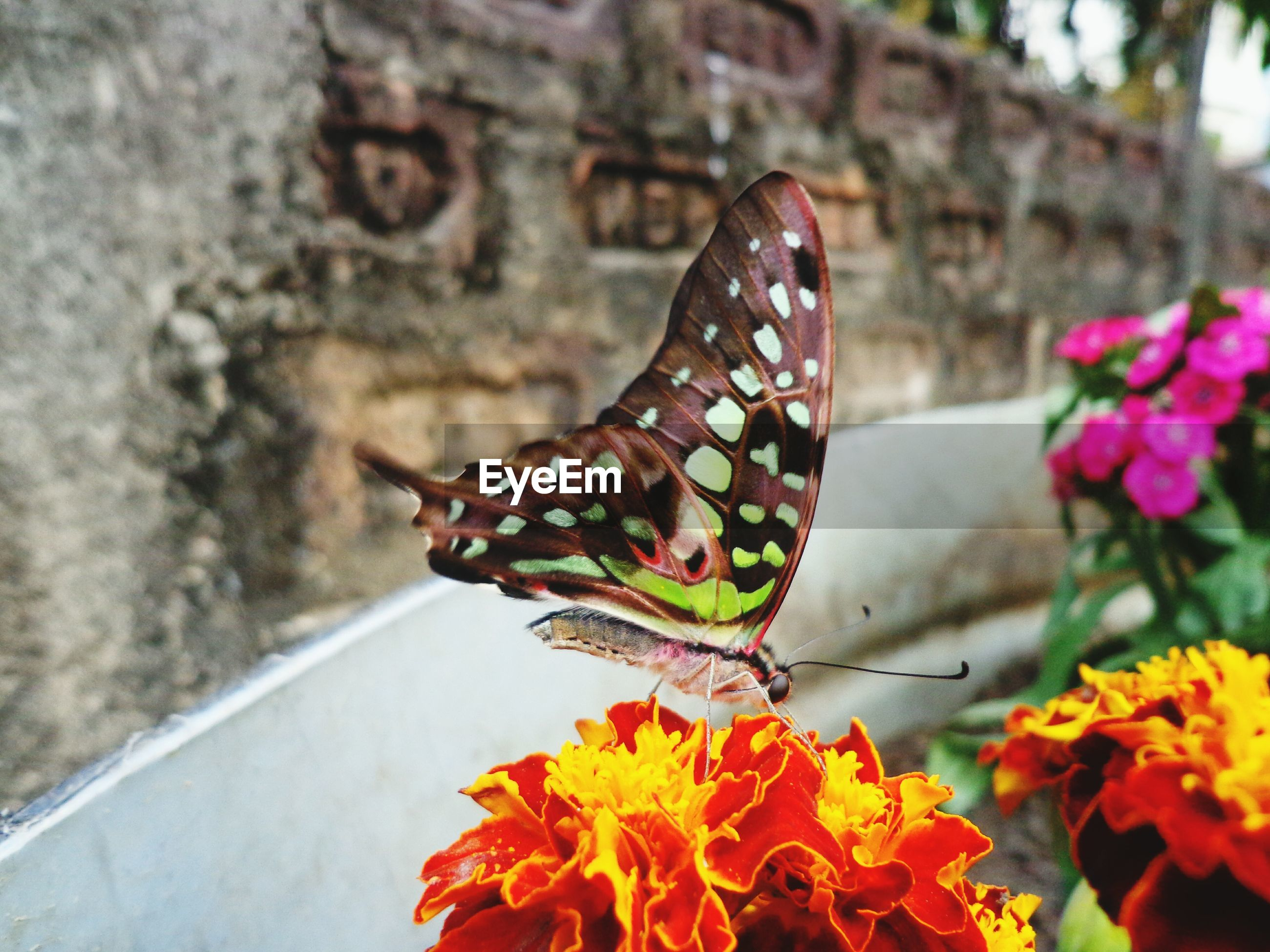 flower, butterfly - insect, insect, fragility, one animal, beauty in nature, nature, animal themes, plant, animals in the wild, no people, freshness, day, butterfly, close-up, growth, outdoors, flower head, pollination