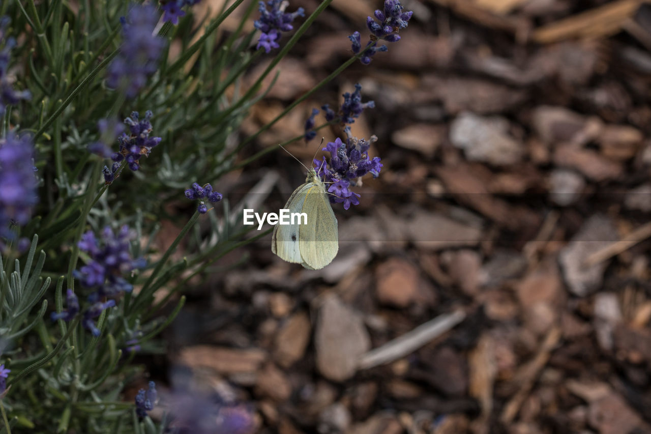 plant, flowering plant, flower, growth, fragility, vulnerability, beauty in nature, freshness, petal, close-up, purple, nature, no people, flower head, day, inflorescence, land, field, high angle view, selective focus, outdoors, butterfly - insect