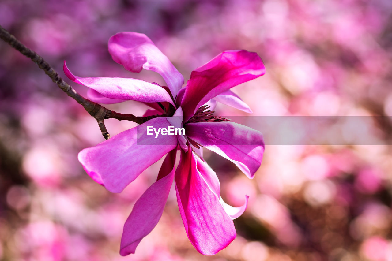 pink color, flowering plant, flower, plant, beauty in nature, petal, freshness, close-up, vulnerability, fragility, growth, focus on foreground, flower head, no people, inflorescence, purple, day, nature, outdoors, selective focus, cherry blossom