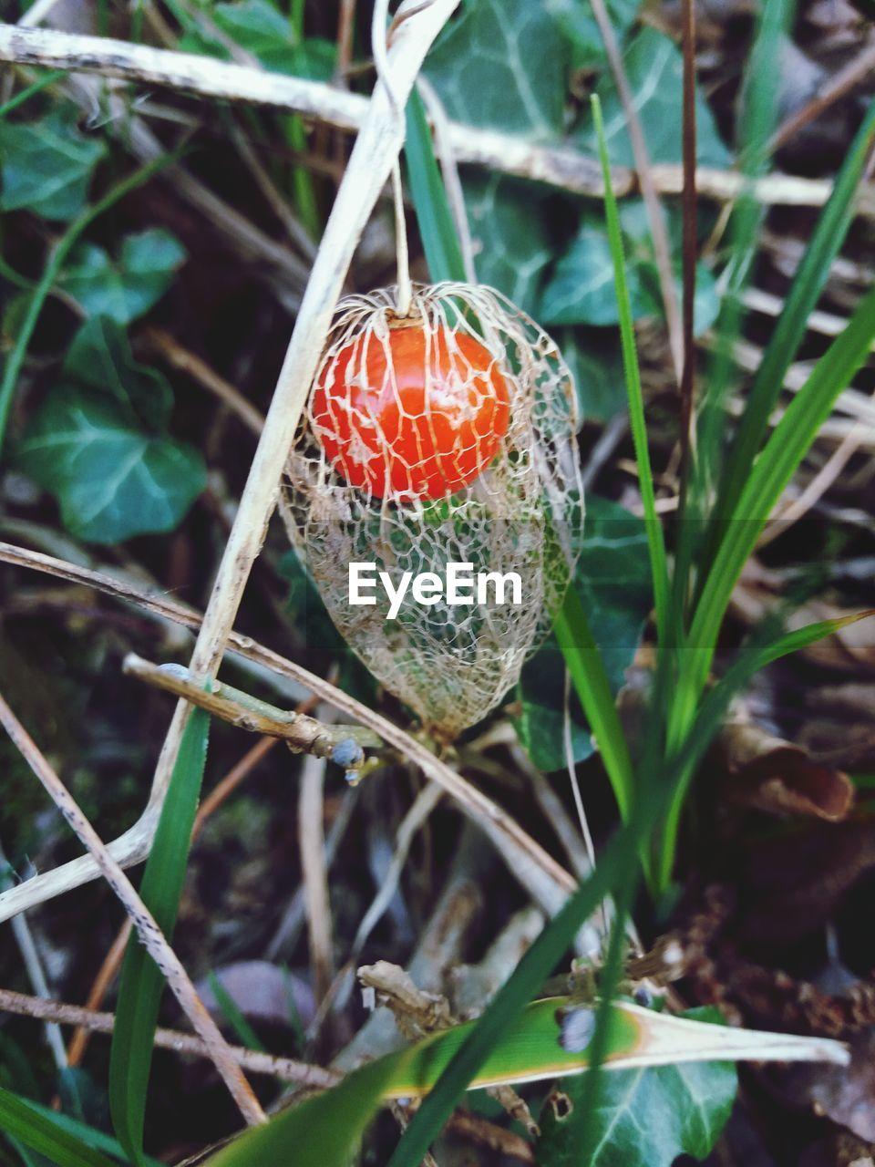 growth, outdoors, day, nature, plant, no people, food and drink, close-up, leaf, fruit, beauty in nature, freshness, fragility, food, fly agaric mushroom