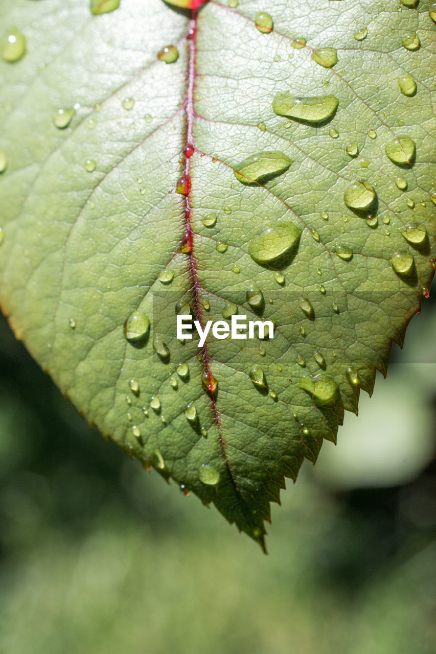 leaf, plant part, green color, plant, drop, close-up, water, day, no people, nature, wet, focus on foreground, growth, beauty in nature, leaf vein, outdoors, tranquility, leaves, raindrop, dew