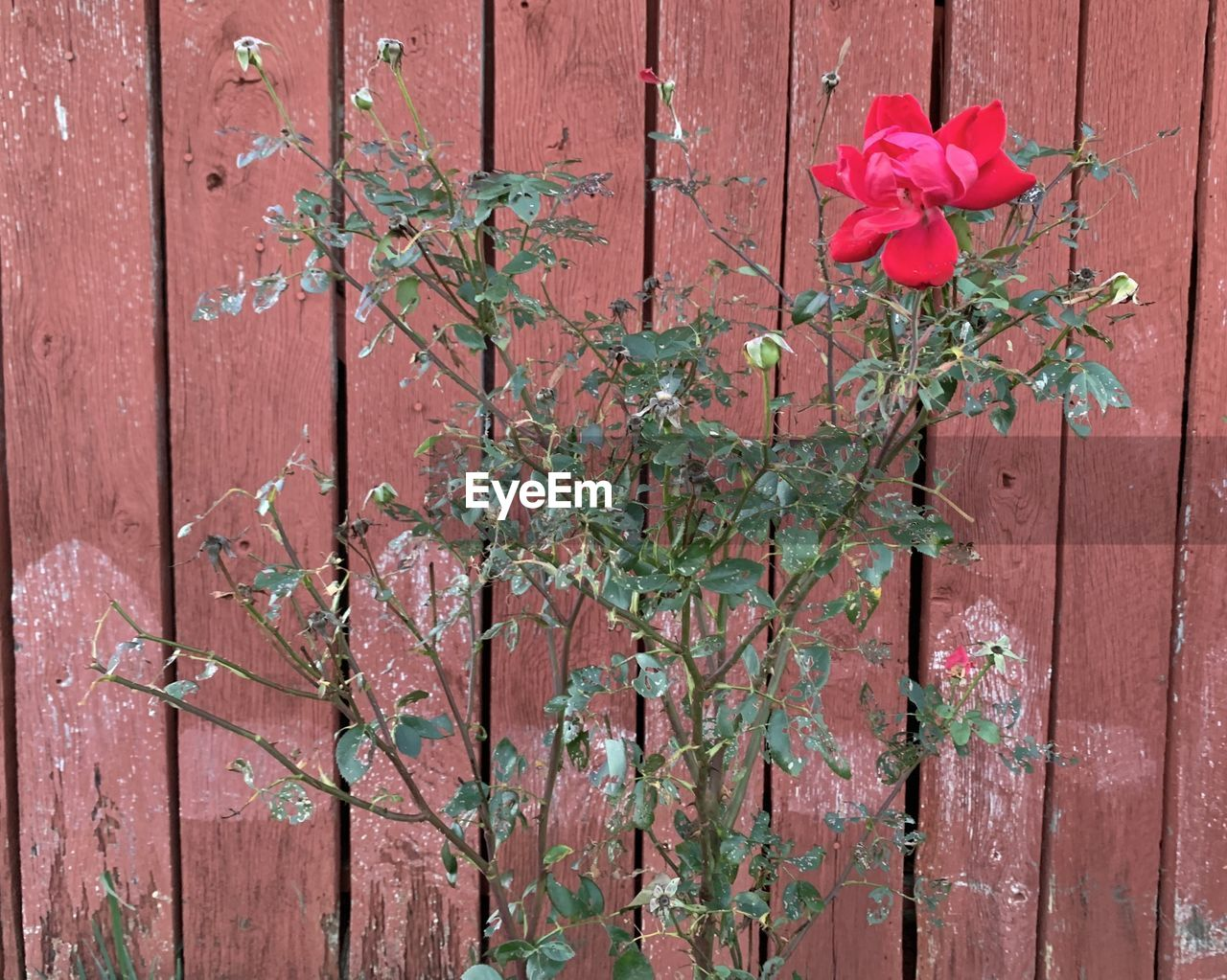 flowering plant, plant, flower, pink color, growth, beauty in nature, vulnerability, fragility, petal, red, nature, rose, close-up, freshness, flower head, no people, inflorescence, outdoors, barrier, fence, brick, leaves