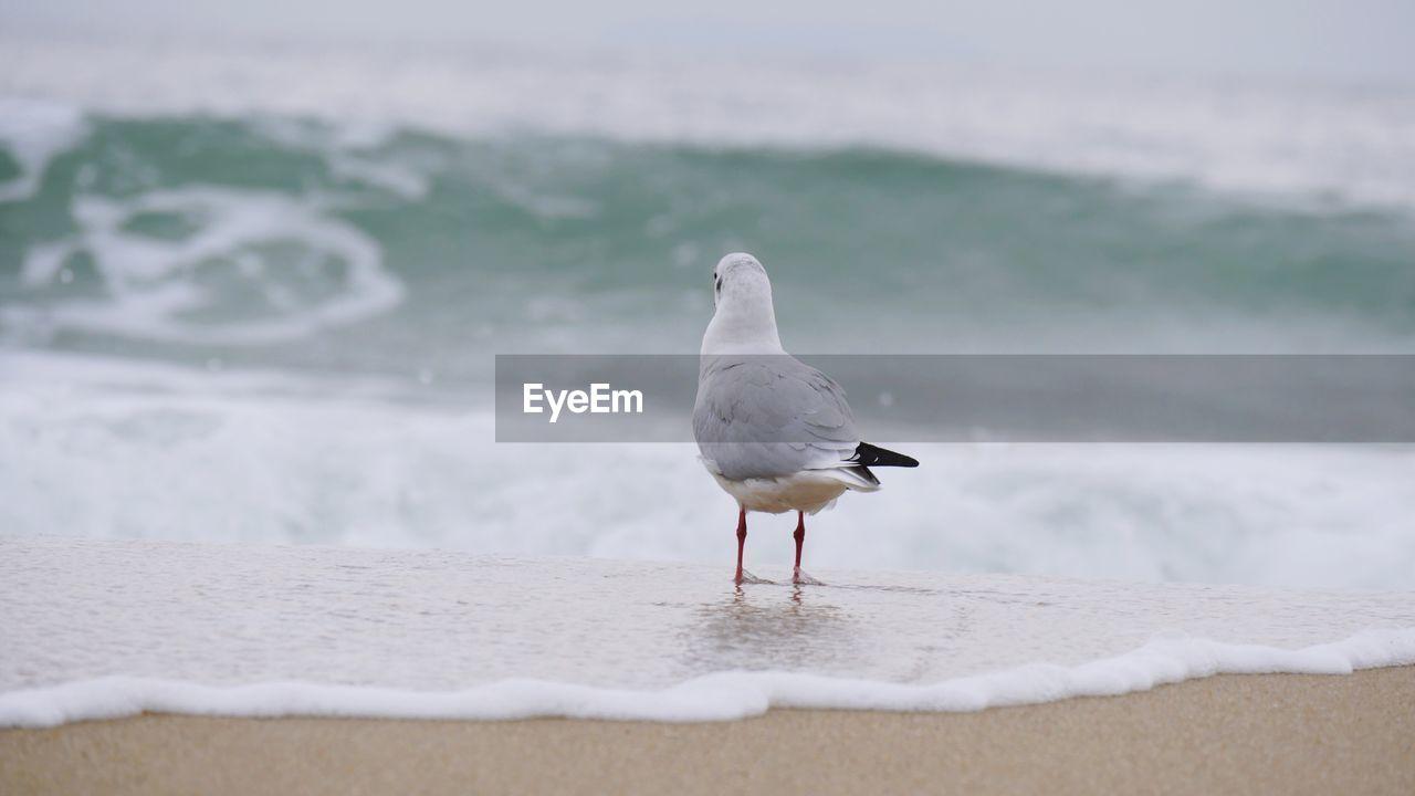 animals in the wild, animal, animal themes, vertebrate, animal wildlife, bird, one animal, sea, beach, land, water, focus on foreground, seagull, sand, nature, no people, day, perching, black-headed gull