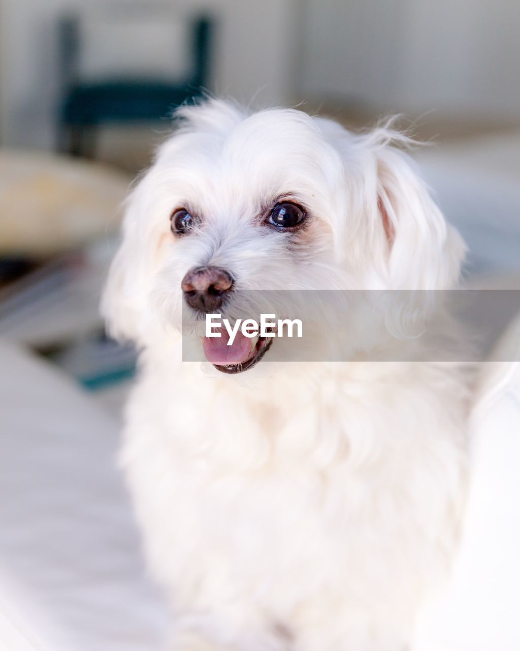 pets, domestic, one animal, dog, domestic animals, mammal, canine, animal, animal themes, vertebrate, white color, looking at camera, portrait, focus on foreground, no people, animal hair, animal body part, small, indoors, cute, animal head, mouth open, shih tzu