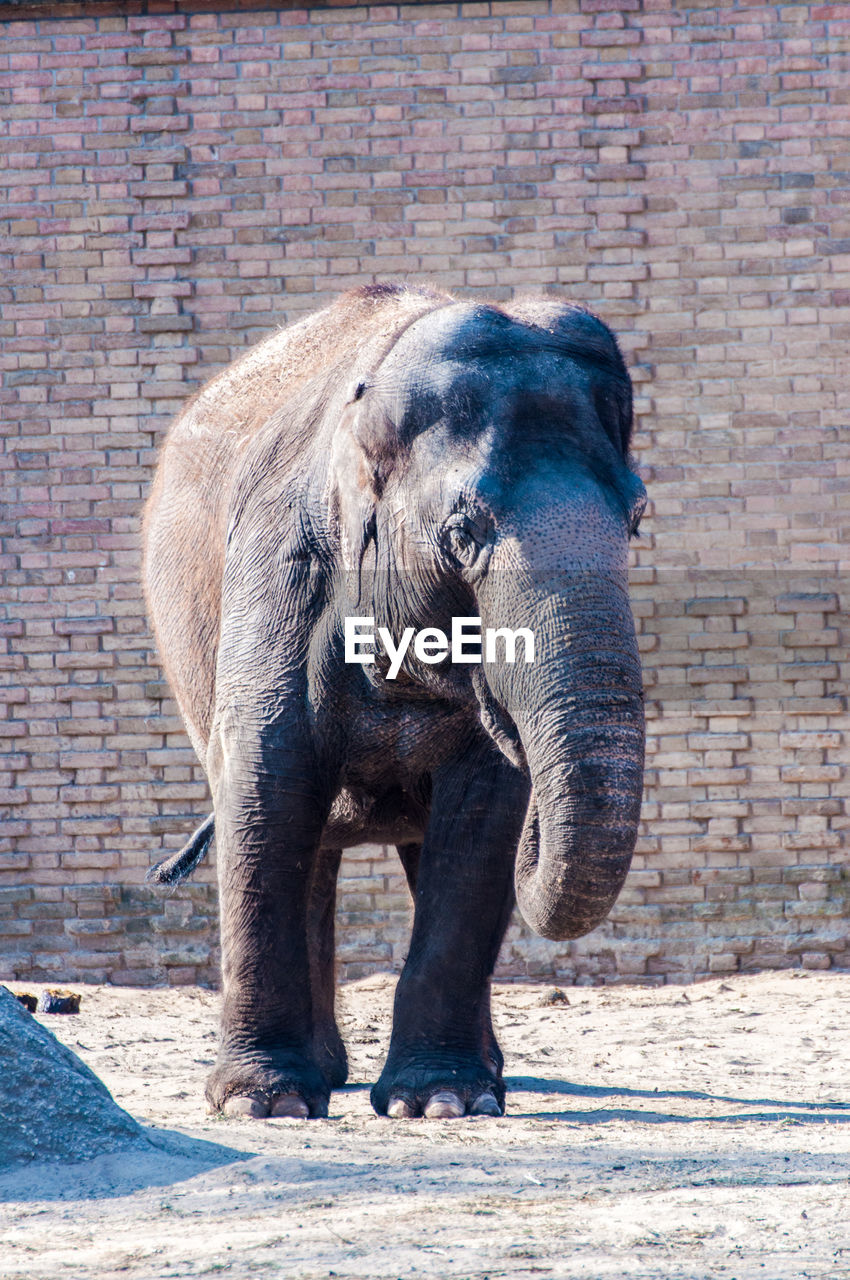 brick wall, one animal, animal themes, elephant, animals in the wild, outdoors, day, animal wildlife, mammal, no people, full length, standing, safari animals, animal trunk
