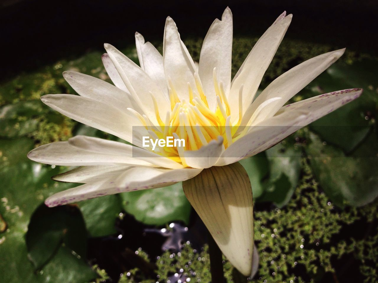 flower, petal, flower head, beauty in nature, nature, fragility, freshness, white color, growth, water lily, plant, close-up, water, blooming, pollen, no people, day, outdoors, leaf, yellow, lotus water lily, lily pad
