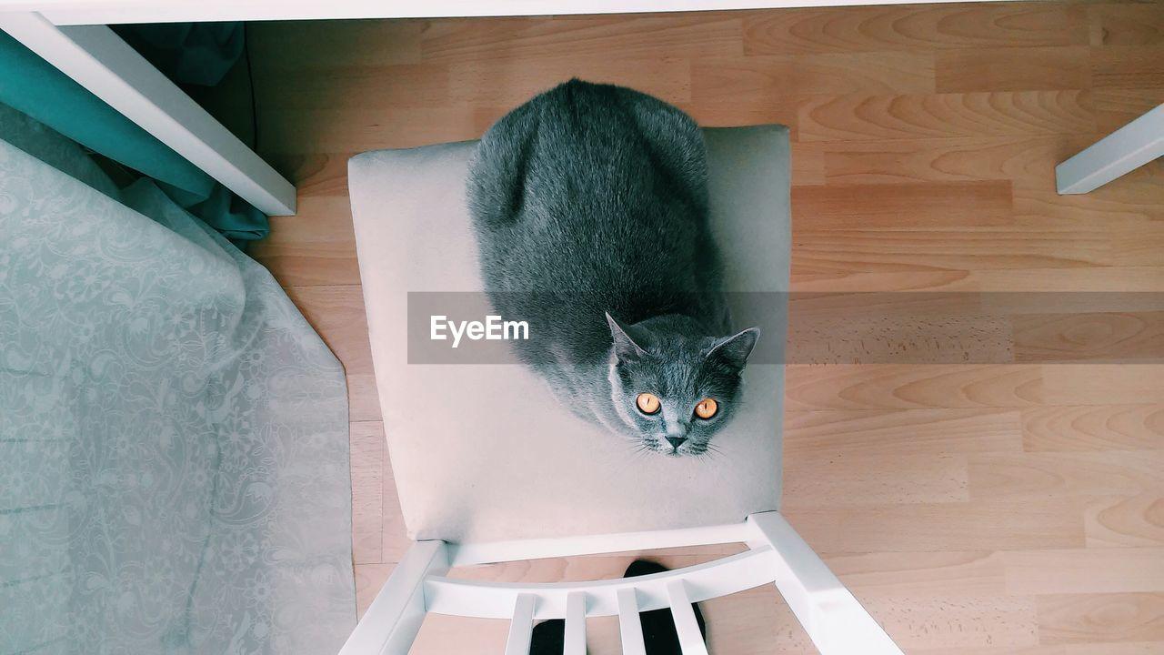 High angle view of a british cat looking at camera