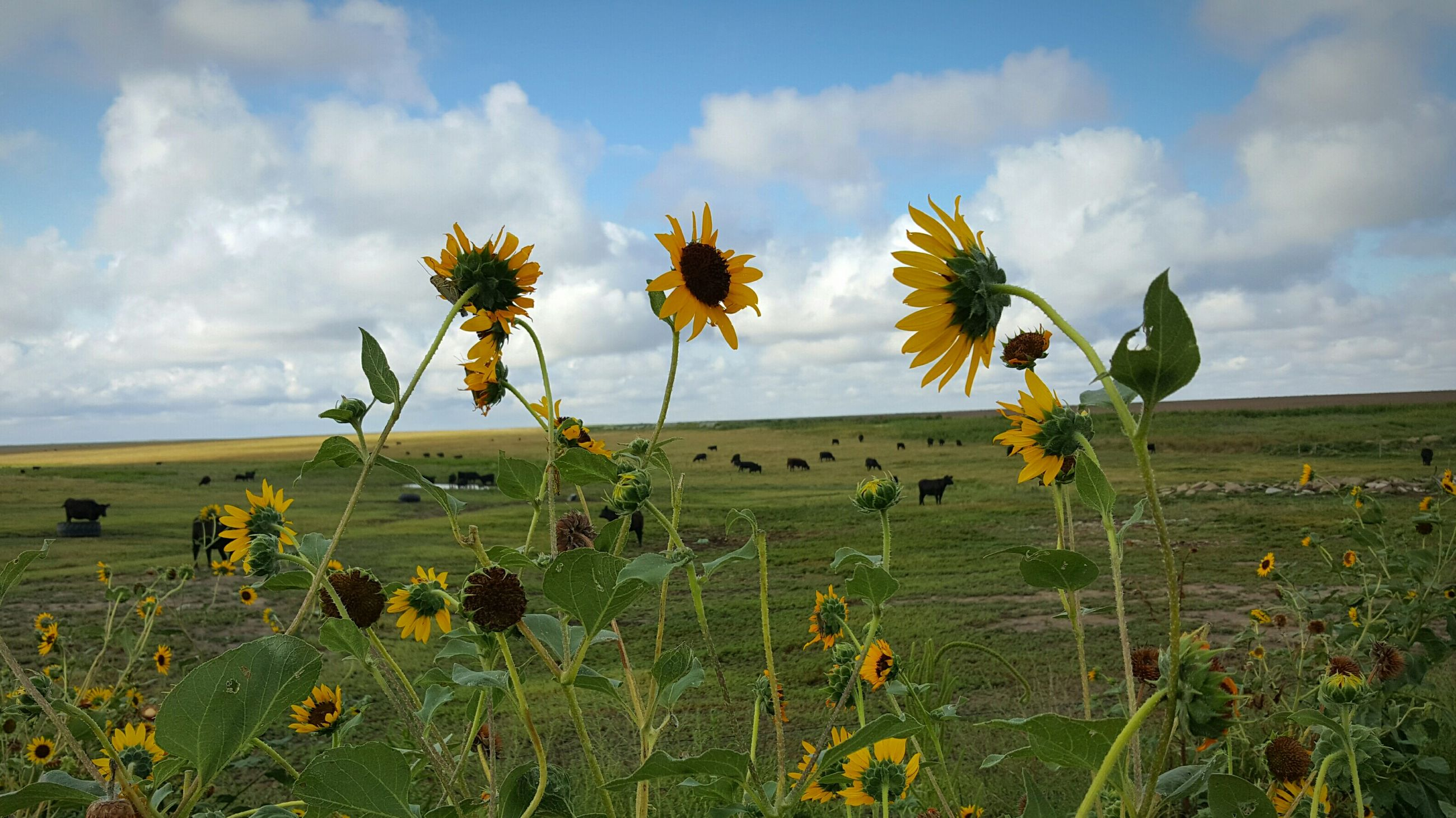 Fresh sunflowers blooming in field with cattle grazing against sky
