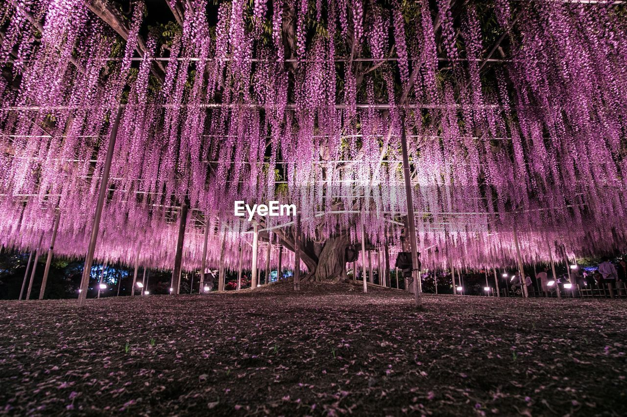 purple, plant, growth, night, beauty in nature, tree, flower, flowering plant, nature, land, park, illuminated, wisteria, park - man made space, no people, outdoors, pink color, freshness, field, vine